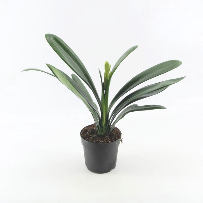 <h4>Clivia miniata</h4>