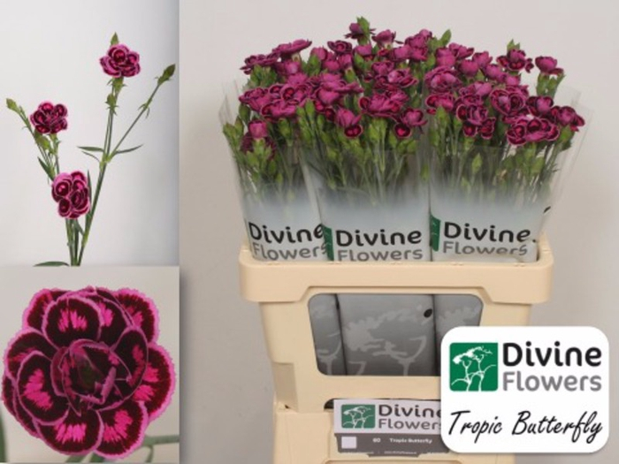 <h4>Dianthus tr. Tropic Butterfly</h4>
