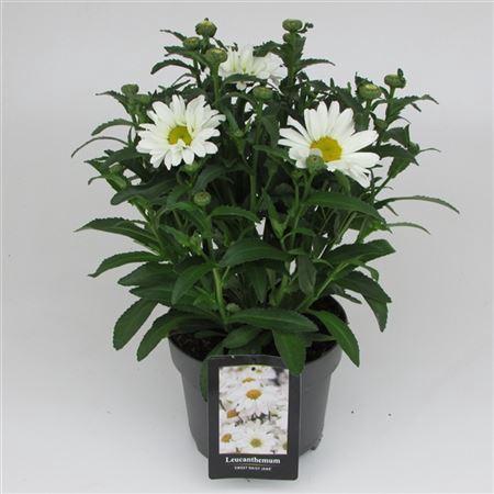 <h4>Leucanthemum Wit</h4>