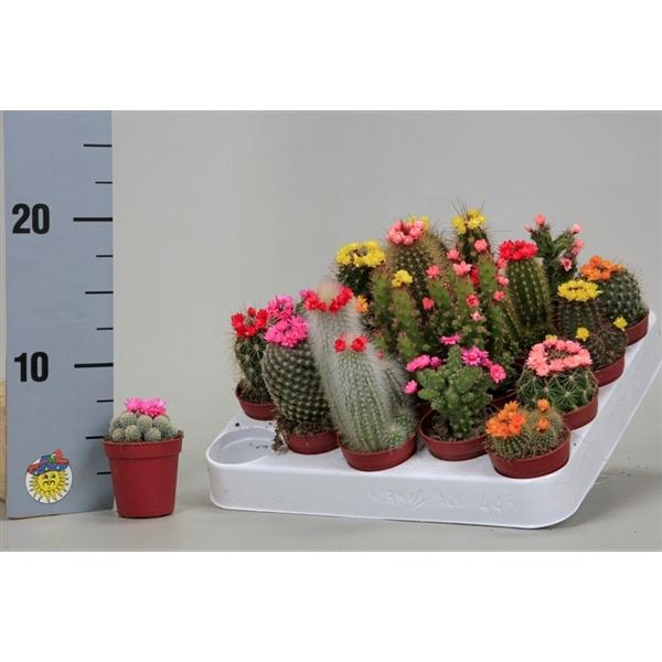 <h4>Cactus versierd Met kleine strobloemen</h4>