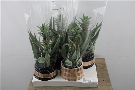<h4>Ananas Mi Amigo In Ceramic</h4>