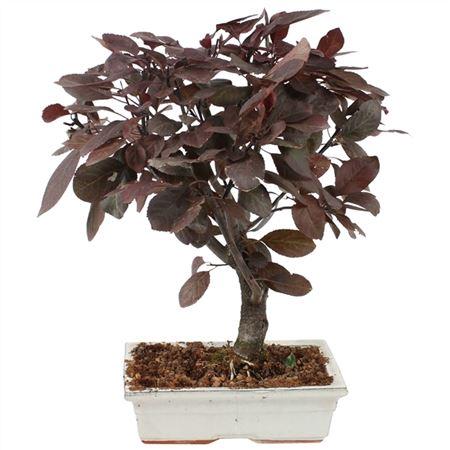 <h4>Bonsai Outdoor Deluxe Prunus Pissardii Ø20cm</h4>