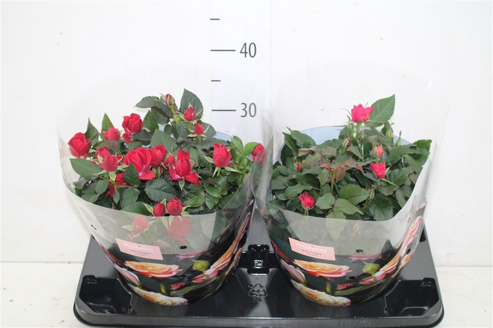 <h4>Rosa Victory Gemengd Schaal</h4>