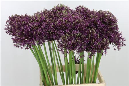 <h4>Allium Miami Purple</h4>