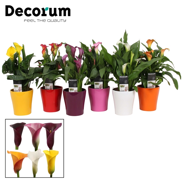 <h4>Zantedeschia Mix in Ompot Amy (Decorum)</h4>