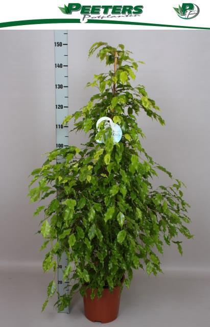 <h4>Ficus Golden Monique 27Ø 160cm</h4>