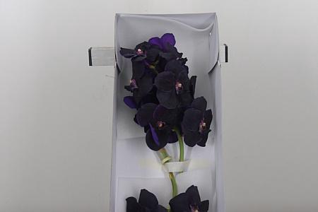 <h4>Vanda Velvet Blackberry</h4>