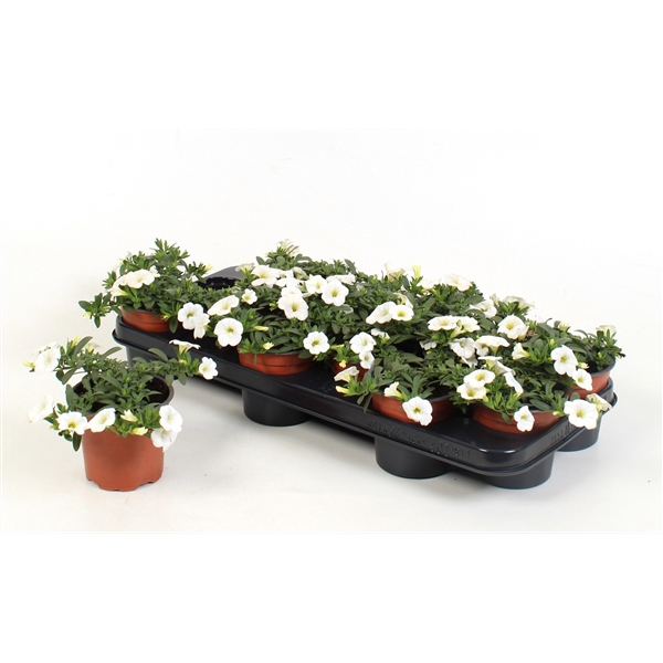 <h4>Calibrachoa Minifamous White</h4>