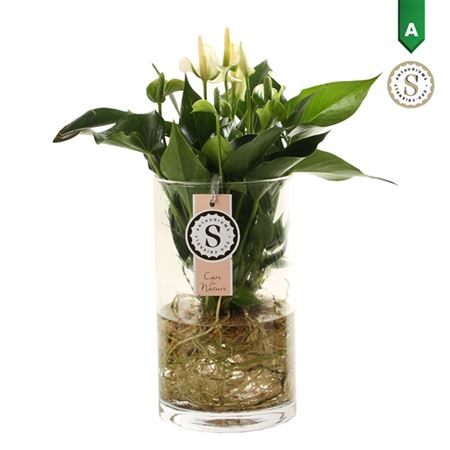 <h4>Anth St White Champion Glas Aqua Roots</h4>