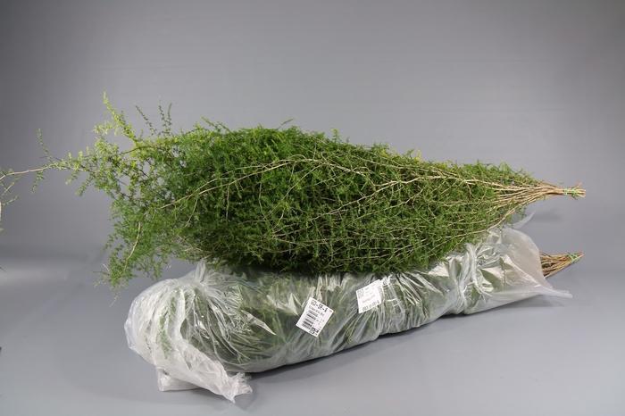 <h4>Asparagus Wilde</h4>