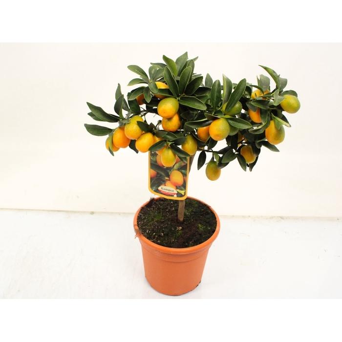 <h4>Citrus sinensis</h4>