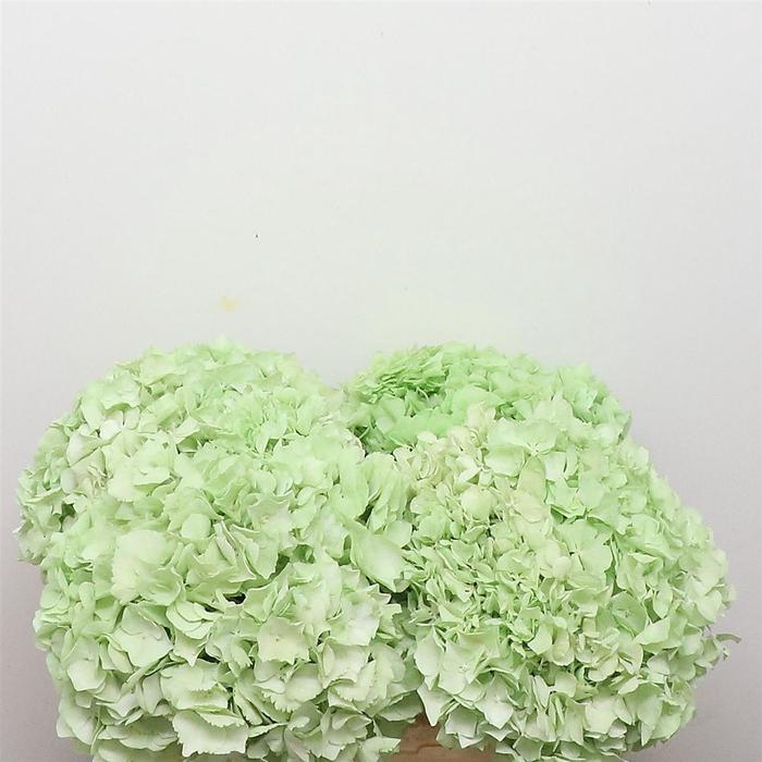 <h4>Dried Hydrangea Light Green P Bunch</h4>