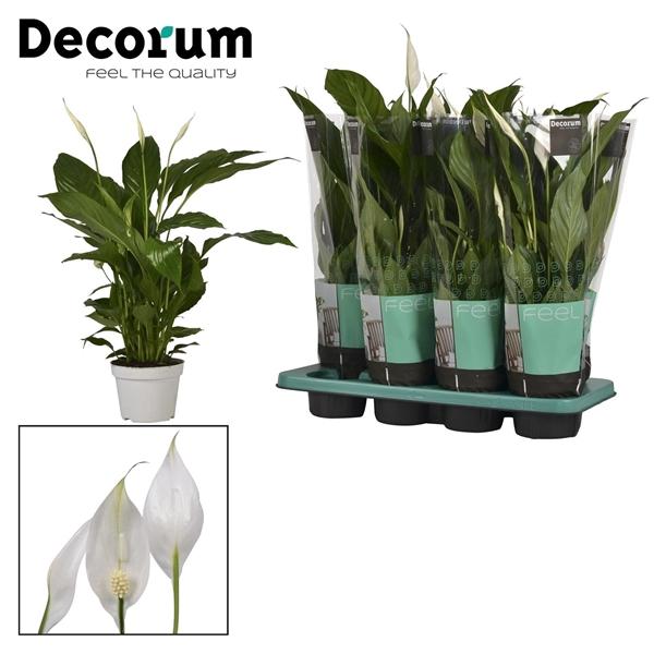 <h4>Spathiphyllum 13 cm Strauss Decorum</h4>