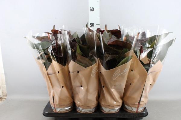 <h4>Anthurium andr. 'Giant Chocolate'</h4>