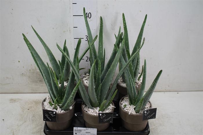 <h4>Aloe Vera In Vaaspot Keramiek</h4>