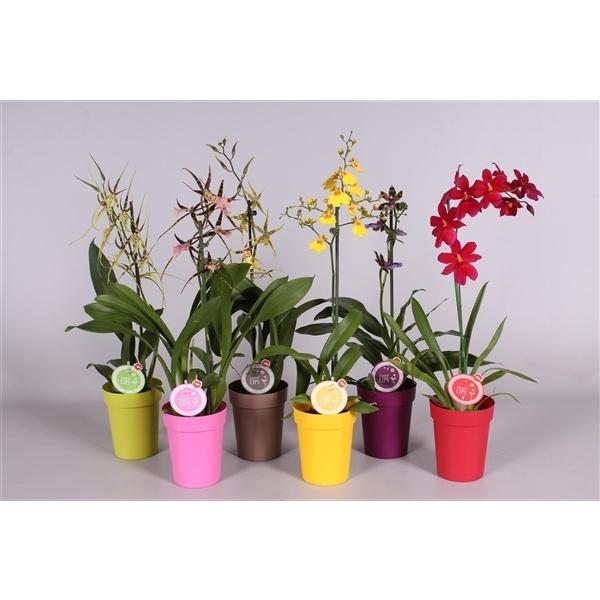 <h4>MoreLIPS® Orchideeën Mix 1 tak in gekleurde pot</h4>
