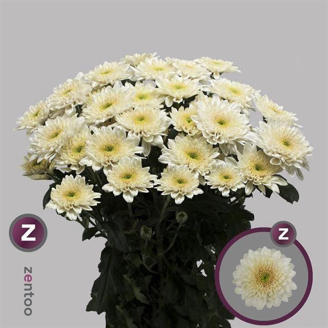 <h4>Chrysanthemum TR 'Vanilla Sorbet'</h4>