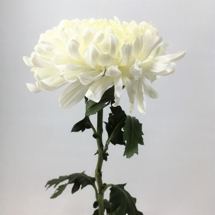 <h4>Chrysanthemums Snowball White</h4>
