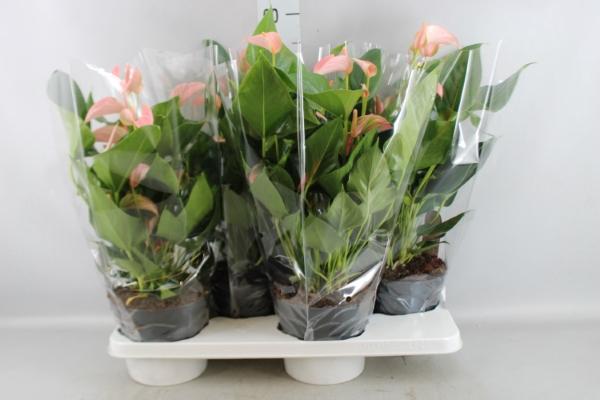 <h4>Anthurium andr. 'Joli Peach'</h4>