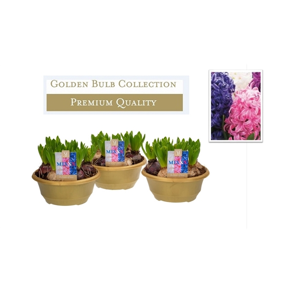 <h4>Hyacinthus mix carnaval</h4>