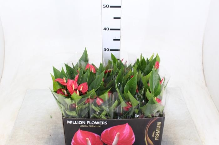 <h4>ANTHURIUM MINI MILLION FLOWERS P09</h4>
