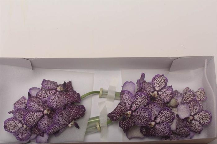<h4>Vanda Lilac Starlight</h4>
