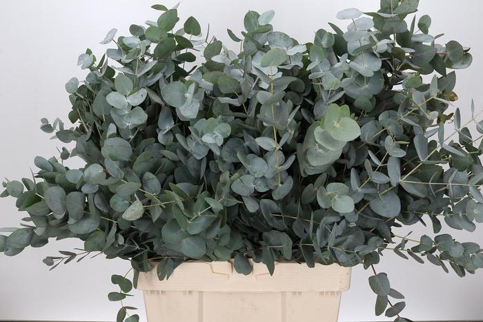 <h4>Eucalyptus Cinerea Air Vertakt</h4>