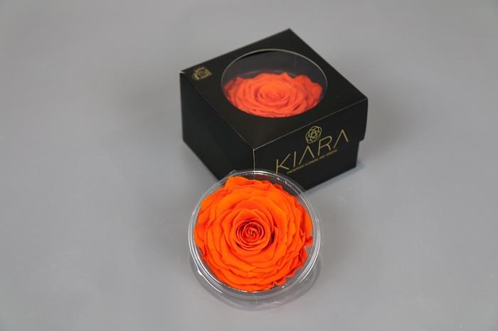 <h4>Rosa Preserved Orange Flame Solitarie</h4>