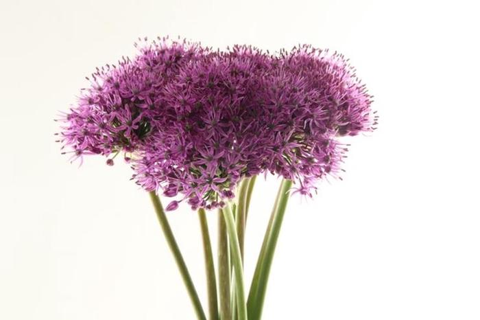 <h4>Allium Gladiator Import</h4>