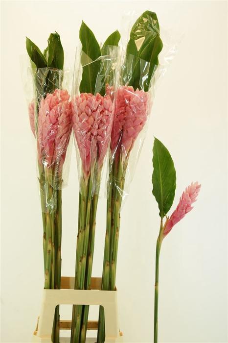 <h4>Alpinea Pink L</h4>