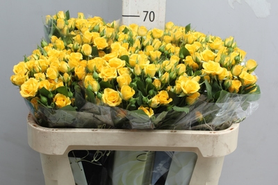 <h4>Rose Sp. Yellow Babe</h4>