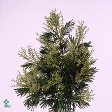 Acacia dealbata   .../bos