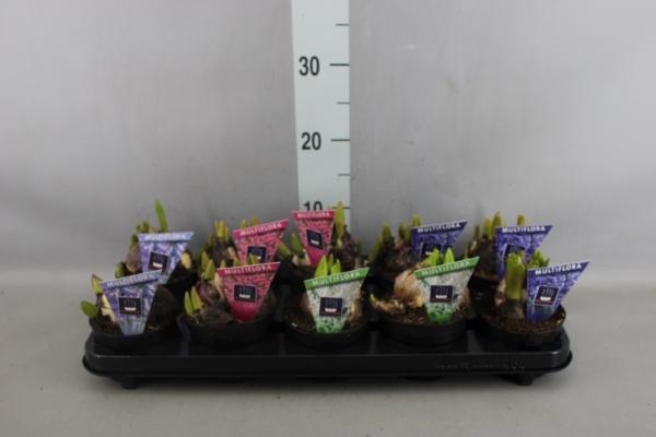 <h4>Hyacinthus orie. 'Multifl'  ..mix 4</h4>