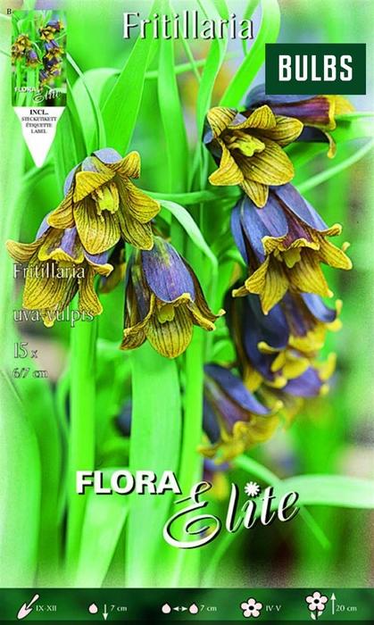<h4>Z Fritillaria Uva-vulpis</h4>