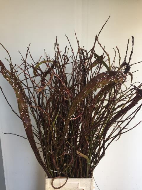 Salix Sekka Bandwilg