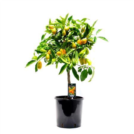 <h4>Citrus Fo Kumquat Gigante</h4>