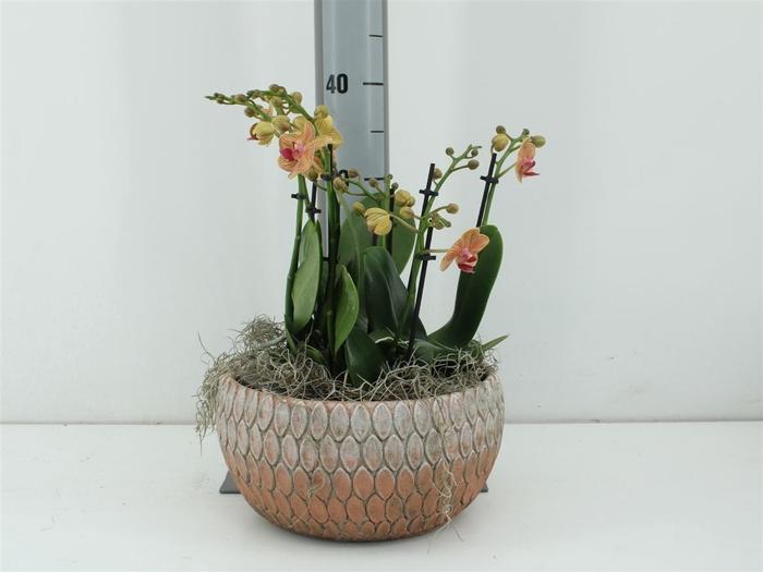 <h4>Phalaenopsis In Marrakesh Dish Orange</h4>