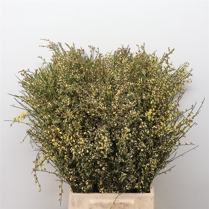 <h4>Ginster Yellow P Bunch 400gram</h4>