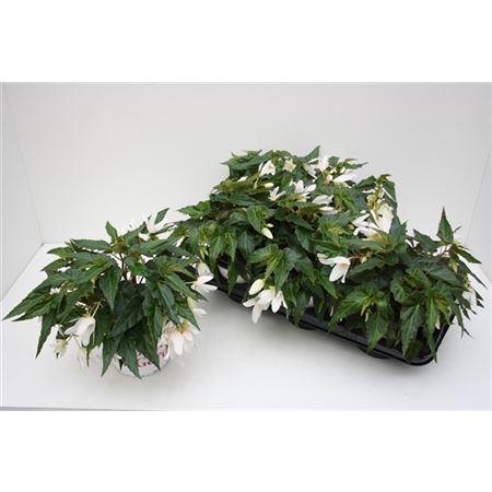 <h4>Begonia Waterfall Encanto White</h4>