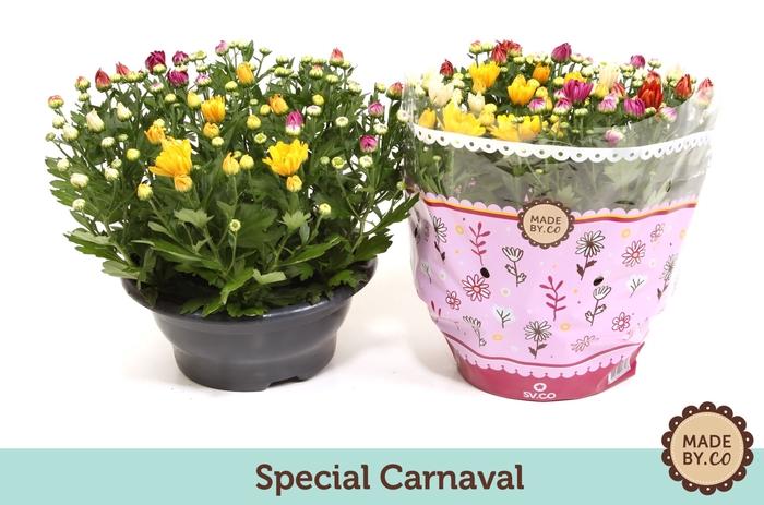 <h4>Chrysanthemum gemengd per pot</h4>