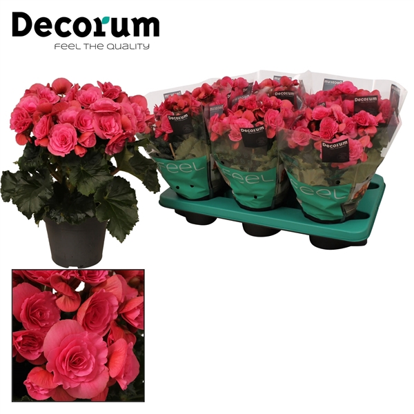 <h4>Begonia ''berseba'' paars</h4>