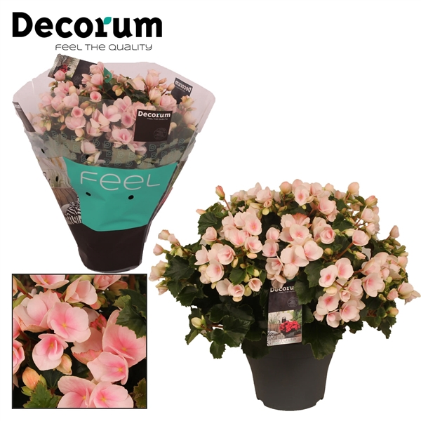 <h4>Begonia betulia''light'' licht rose Decorum</h4>