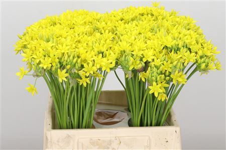<h4>Allium Molly Jeannine Yellow</h4>
