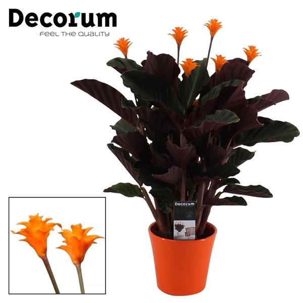 <h4>Calathea Crocata Candela 5/6 in oranje keramiek DECORUM</h4>