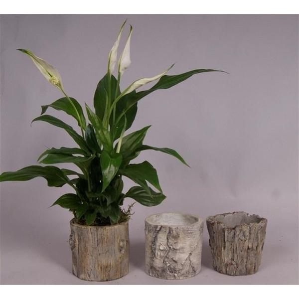 <h4>Spathiphyllum 7cm in Trunk keramiek 8cm</h4>