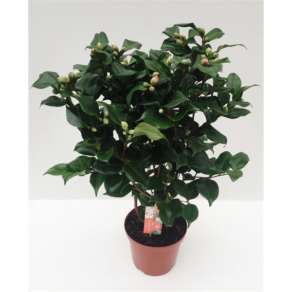 <h4>Camellia Dr King 50+ Knop</h4>