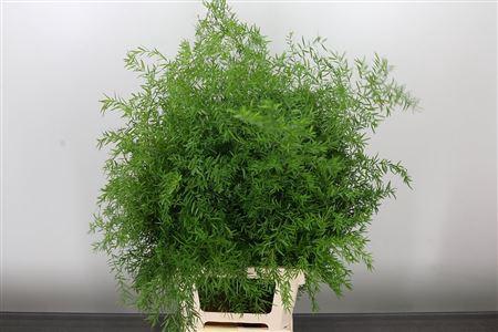 <h4>Asparagus Dens Cwebe</h4>