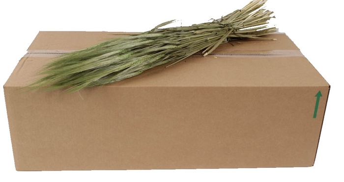 <h4>Hordeum per bunch Light Green</h4>