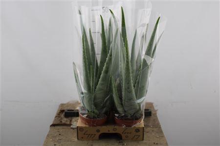 <h4>Aloe Vera Extra</h4>