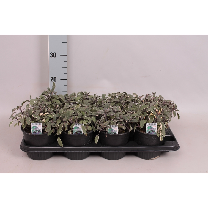 <h4>Kruiden I Salvia Tricolor   (salie)</h4>
